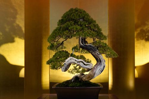 Il successo dei bonsai da interno for Bonsai da interno